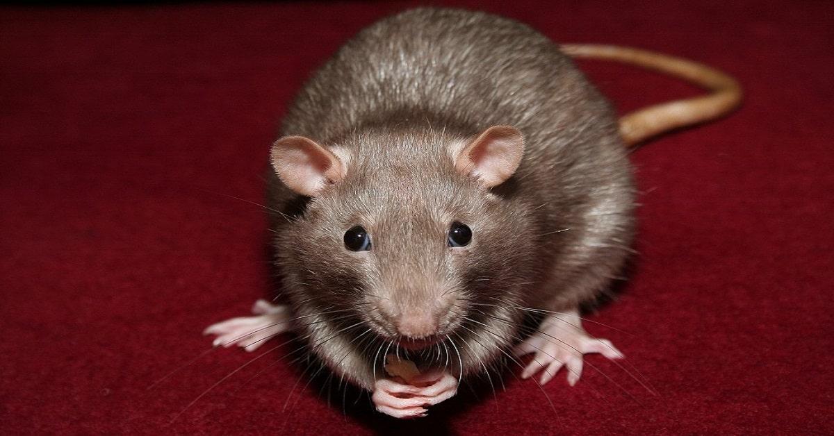 ADAMANTINA - SP : Como Eliminar Ratos | Dedetização elimina ratos