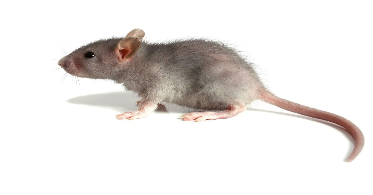 ÁGUAS DE LINDÓIA - SP : Dedetizadora de ratos | Desratização SP - Orçamento